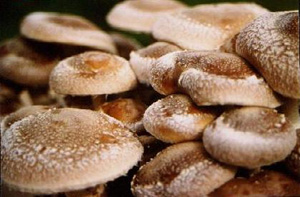грибы, гриб шиитаке, лекарственный гриб